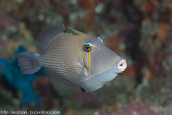 BD-130709-Maldives-9891-Sufflamen-bursa-(Bloch---Schneider.-1801)-[Boomerang-triggerfish.-Pungtryckarfisk].jpg